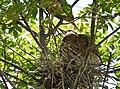 Black-crowned Night-Heron young (48432232642).jpg