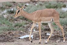 A female black-faced impala