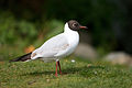 Black-headed Gull.jpg