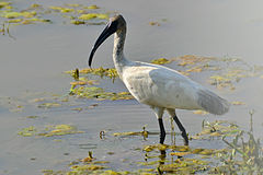 Black-headed Ibis (Threskiornis melanocephalus) in Tirunelveli.jpg