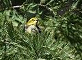 Black-throated Green Warbler (37773216502).jpg