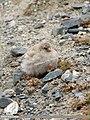Black-winged Snowfinch (Montifringilla adamsi) (48332253531).jpg