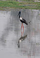 Black Necked Stork (3327041415).jpg