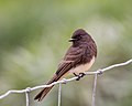 Black Phoebe in the rain (27878347179).jpg