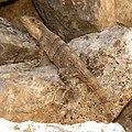 Black Spiny-tailed Iguana (16444376699).jpg