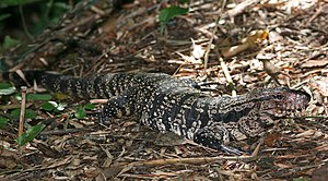 Argentine black and white tegu - An adult female black and white tegu.