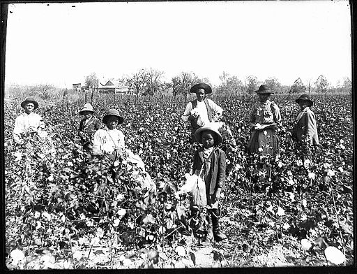Black cotton farming family