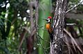 Black rumped Flameback Woodpecker.jpg