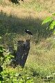 Black stork (Kocioł) (10942788934).jpg