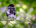 Blackbird on a fence (19379912621).jpg