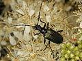 Blaubock - Gaurotes virginea (Cerambycidae) (7615333366).jpg