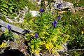 Blauer Eisenhut - Aconitum napellus.jpg