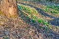 Bledule jarní v PR Králova zahrada 62.jpg