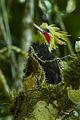 Blonde-crested Woodpecker - Brazil S4E0426 (16410520485).jpg