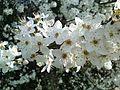 Blossom on tree closeup.jpg