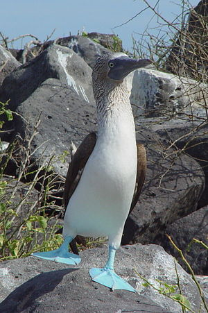 Blue-footed Booby (Sula nebouxii) with one leg...