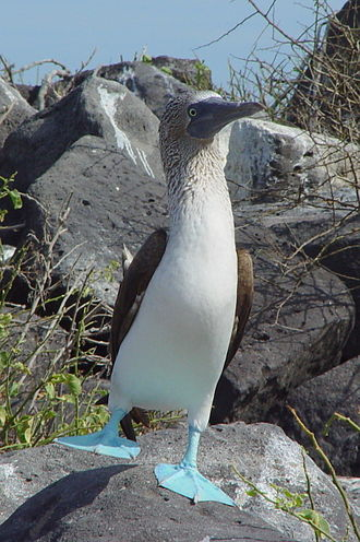 Booby - Blue-footed booby displaying by raising a foot