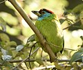 Blue-throated Barbet @ Mangoli.jpg
