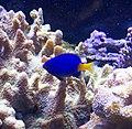 Blue Fish (8030224092).jpg