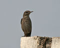 Blue Rock Thrush (Monticola solitarius)- Female in Bhongir, AP W IMG 3068.jpg