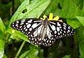 Blue Tiger Tirumala limniace UP by Dr. Raju Kasambe DSCN9866 (3).jpg
