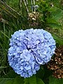 Blue hortensia flower.jpg