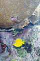 Blue tang Acanthurus coeruleus (4661966356).jpg