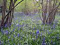 Bluebells (4560794845).jpg