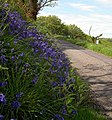 Bluebells all the way down. - geograph.org.uk - 1317265.jpg