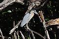 Boat-billed Heron (Cochlearius cochlearius) (3324460856).jpg