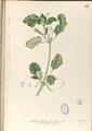 Boerhaavia diffusa Blanco1.93-original.png