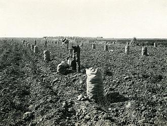 History of the potato - Potato harvest in Idaho, circa 1920