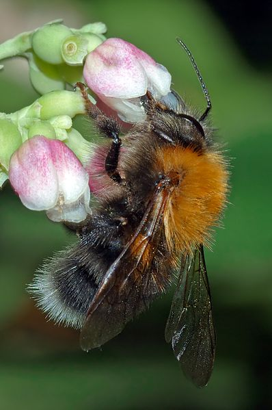 File:Bombus hypnorum male - side (aka).jpg