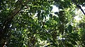 Borneo Wild Grape.jpg