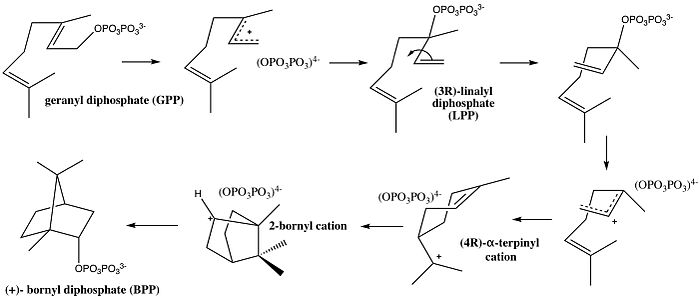 Cyclization of geranyl diphosphate into (+)- bornyl diphosphate synthase catalyzed by Bornyl Diphosphate Synthase