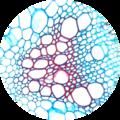 Botana curus X xylem and phloem 400×.png