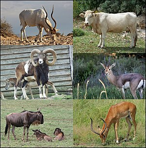 Bovidae - Example Bovidae (clockwise from top left) – addax, domestic cattle, gazelle, impala, wildebeest, and mouflon