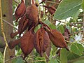 Brachychiton populneus 20110822a.jpg