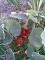 Brassicales - Tropaeolum majus 2 - 2011.07.11.jpg