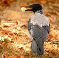 Bread-eating crow (21108147379).jpg