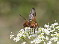 Broad winged Tachinid fly from Slovakia (7614195048).jpg
