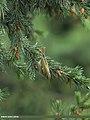 Brooks's Leaf Warbler (Phylloscopus subviridis) (15708942818).jpg