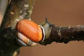 Brown-lipped snail (Cepaea nemoralis) 4.jpg
