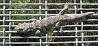 Brown Gecko 01.jpg