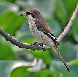 Brown Shrike (Lanius cristatus)- Immature in Kolkata I IMG 2760.jpg