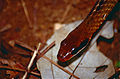 Brown Sipo (Chironius fuscus) (10511523043).jpg