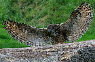 Eurasian eagle-owl - The wings have a wide spread