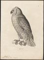 Bubo lacteus - 1700-1880 - Print - Iconographia Zoologica - Special Collections University of Amsterdam - UBA01 IZ18400097.tif