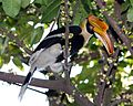 Buceros bicornis (female) -feeding in tree-8.jpg