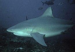 Bullshark Beqa Fiji 2007